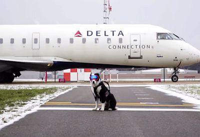 Hund vertreibt Vögel am Flughafen