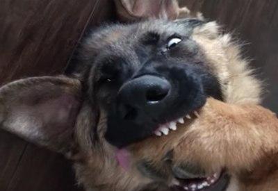 Schlafender Schäferhund knabbert an sich selbst