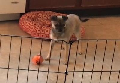 Hund unterhält sich mit seinem Spielzeug