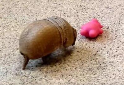 Rollie das kleine Gürteltier