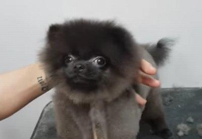Hund genießt seinen Haarschnitt (Original + Duck Tales Version)