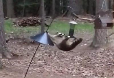 Waschbär plündert Vogelfutter