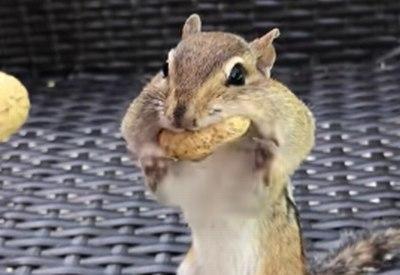 Wieviel Erdnüsse passen in ein Streifenhörnchen?