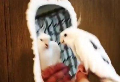 Kakadu mit Rhythmus im Blut
