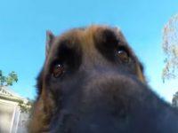 Schäferhund gibt GoPro nicht zurück