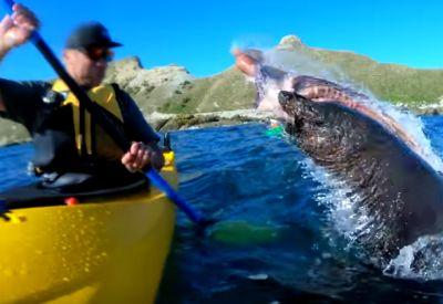 Seehund schlägt Kajakfahrer mit Oktopus