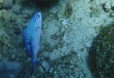 Taucher rettet kleinen Fisch