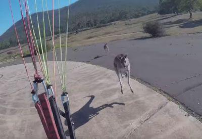 Känguru attackiert Paraglider