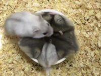 Sechs Hamster beim Füttern