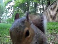 Fuchs vs. Eichhörnchen im Garten