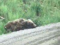 Liegt ein Bär am Straßenrand...