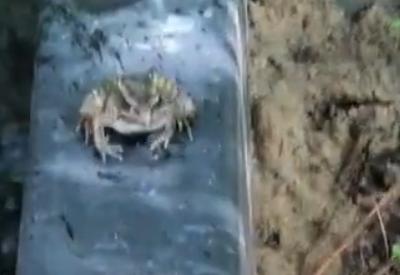 Der Feinschmeckerfrosch