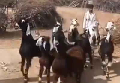 Disco Goats